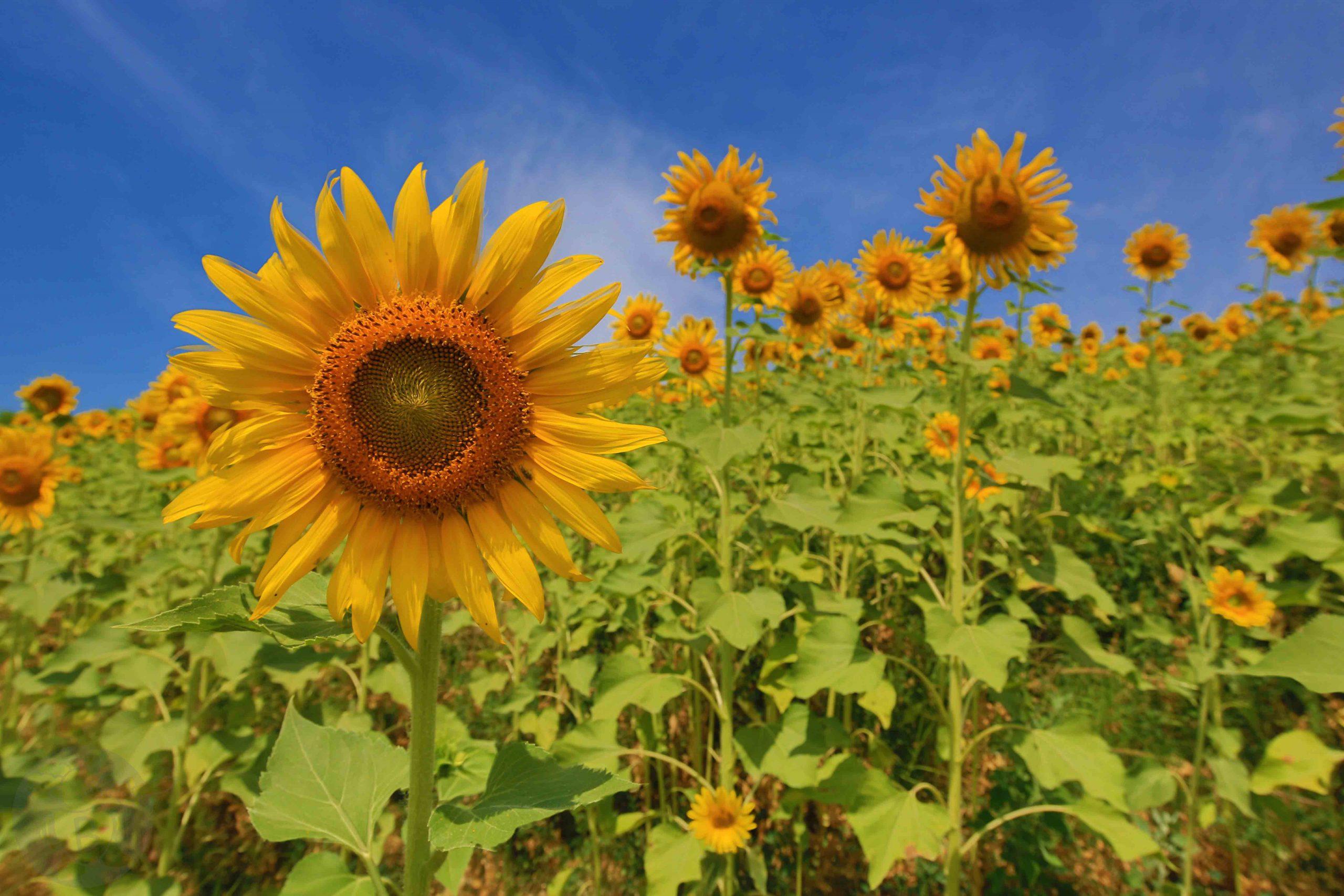 Sonnenblumenfeld im Piemont   © Die Buben - Oliver Bube